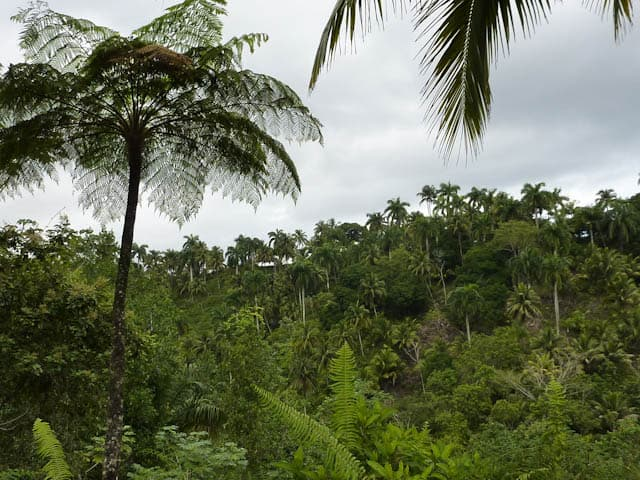 Palmen auf Kuba