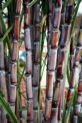 Zuckerrohranbau in Kuba
