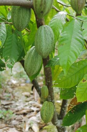 Kakaoschote an einem Baum auf einer Plantage